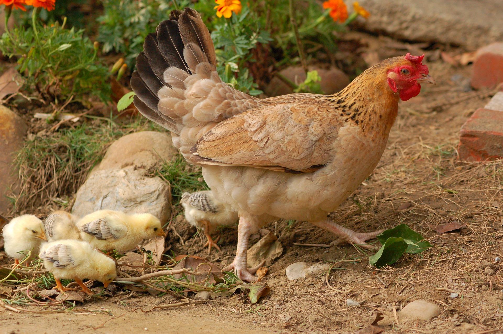 Mangeoire pour poules comparatif et guide d 39 achat 2019 for Mobiliere significato