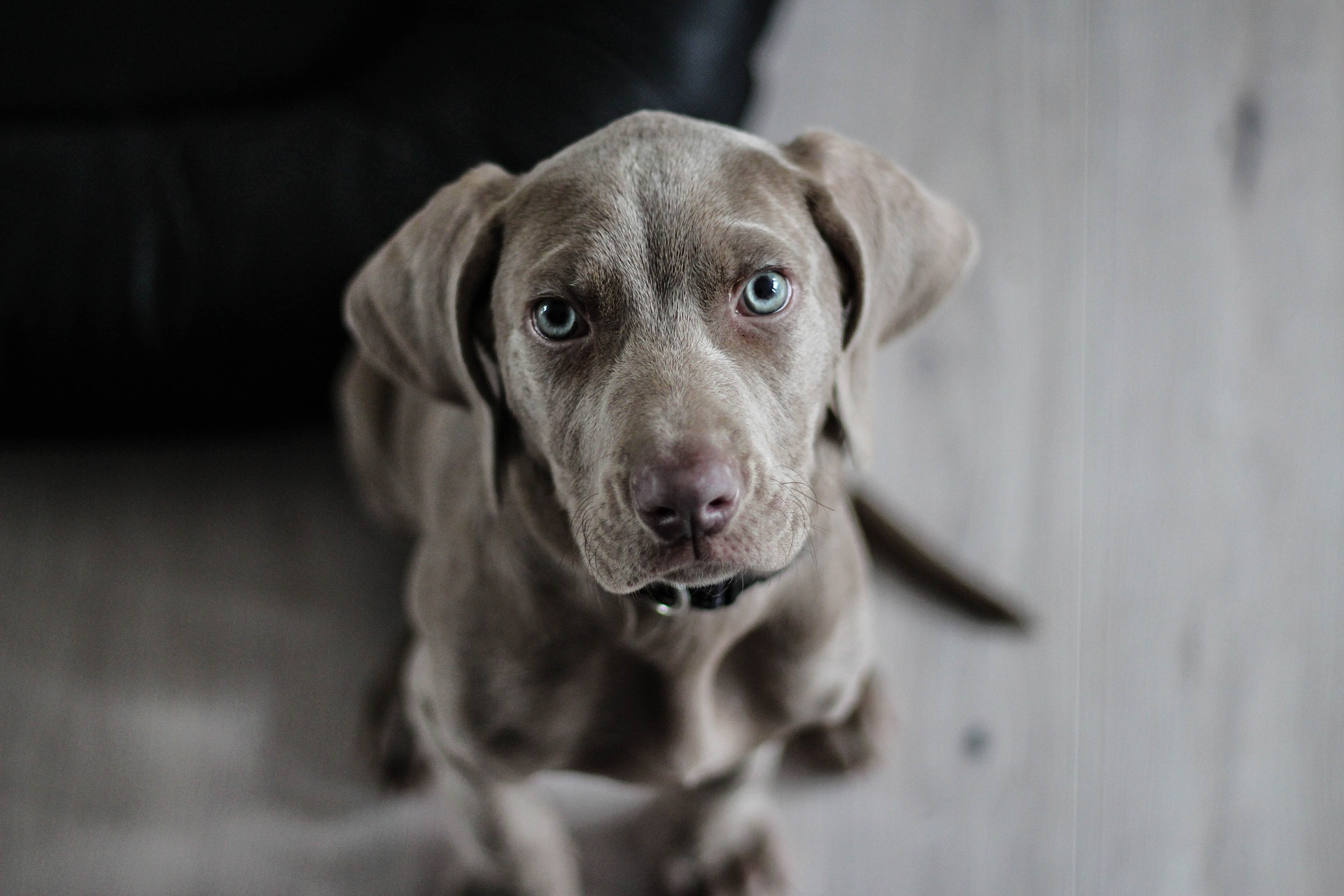 Ceinture pour chien pour voiture