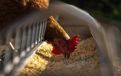 aliments poules